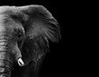 Elephant in black and white with a dark background