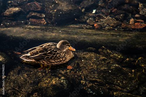 Poster Duck in Norway