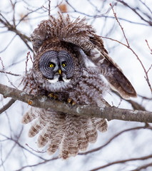 The great grey owl or great gray is a very large bird, documented as the world's largest species of owl by length. Here it is seen perched in a tree watching for prey in Quebec's harsh winter.