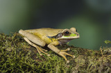 Costa Rican Masked Tree Frog