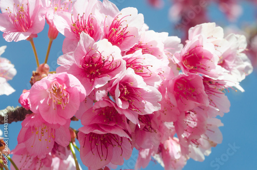 Poster Japanese sakura cherry blossom with soft focus on blue sky
