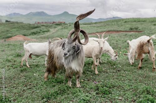 Poster goat herd leader with huge horns unusual