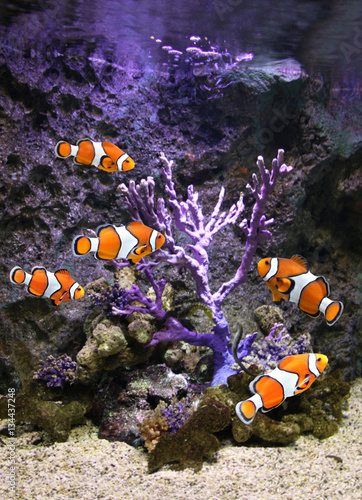 Poster Sea corals and clown fish