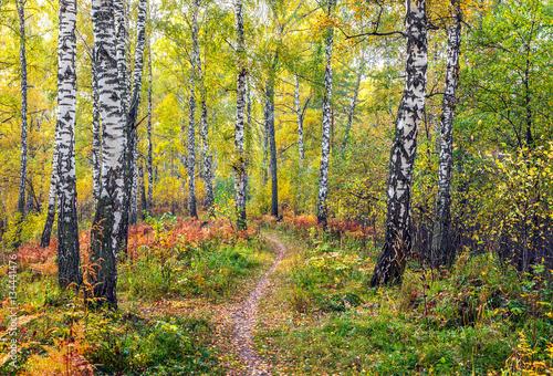 Plexiglas Berkenbos Autumn in the birch forest.