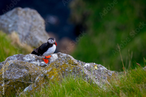 Poster Lonely puffin