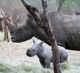 Female rhino with her baby rhino in the Savanna South Africa