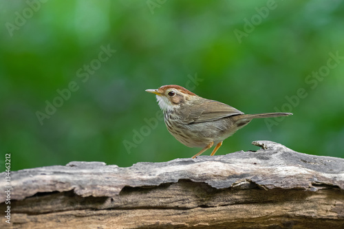 Poster Puff-throated spotted Babbler bird in brown with streaks on breast  and belly, w