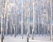 Winter landscape with snowy birch trees
