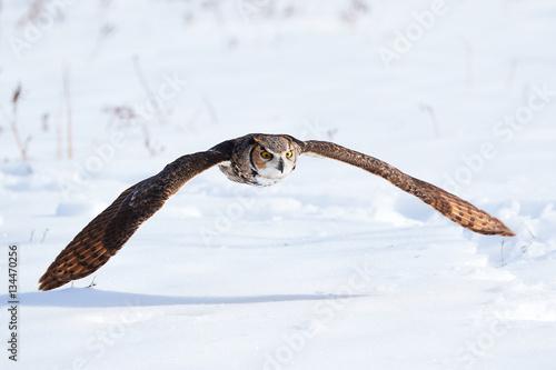 Poster Great Grey Owl in flight