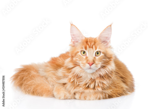 Poster Fat maine coon cat lying in front view. Isolated on white
