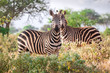 Wild zebras on savanna, Kenya, East Africa
