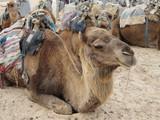 оседланные верблюды ждут своих погонщиков