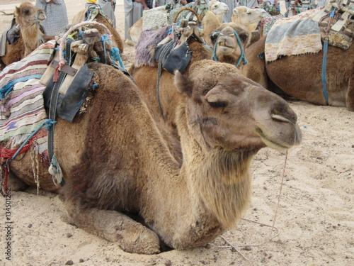 Poster оседланные верблюды  ждут своих погонщиков