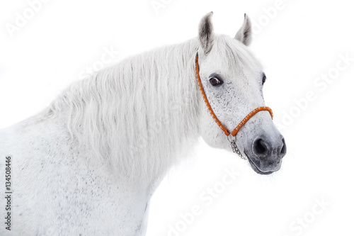 Poster Portrait of a gray horse on a white background