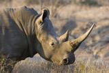 Rhinoceros Kruger SA