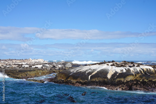 Poster Seal colony at Seal Island, Cape town, South Affica