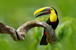Bird with open bill. Big beak bird Chesnut-mandibled Toucan sitting on the branch in tropical rain with green jungle background. Wildlife scene from nature with beautiful bird with big bill.