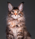 Portrait of domestic tortoiseshell Maine Coon kitten. Fluffy kitty on grey background. Close-up studio photo adorable curious young cat looking at camera.