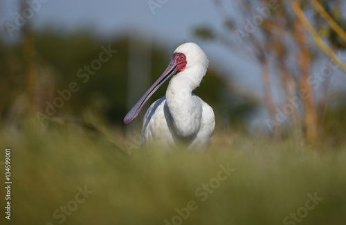 Poster African spoonbill