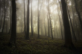 Misty forest background. Trees in fog in gloomy mysterious landscape - 134612295