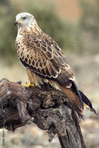 Poster Adult of Red kite. Milvus milvus.