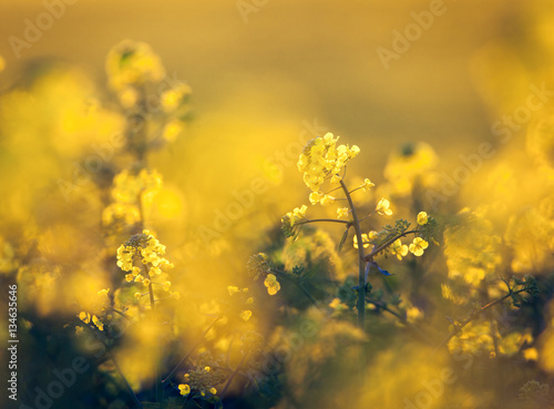 Canola flowers, colza. Rapeseed flowers. Rapeseed field, Blooming canola flowers close-up. Rape on the field in spring. Rapeseed oil. Flowering rapeseed. Vintage toning, instagram style. Nature