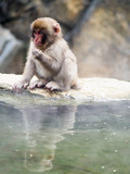 Japanese macaques, also known as snow monkeys, interacting with eachother in a natural setting.