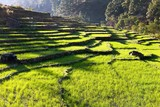 terraced rice field, green rice field or paddy field