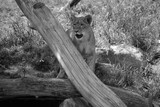 Lion cub is one of the four big cats in the genus Panthera, and a member of the family Felidae.