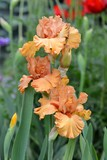 Iris, orange flowers in garden,