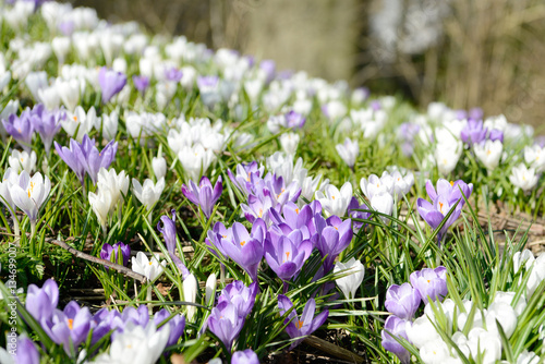 crocuses on meadow