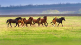 Horse herd run fast on spring green pasture - 134703084