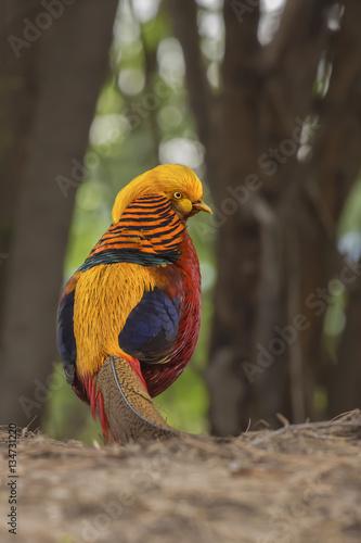 Poster Golden Pheasent Profile