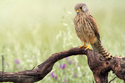 Poster Young male of Common kestrel. Falco tinnunculus