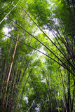 low angle of bamboo forest canopy