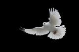 beyaz güvercin - 134756886