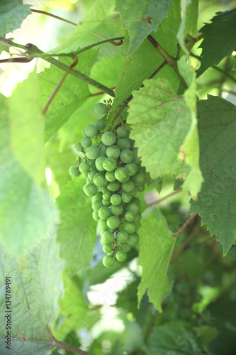 Green grapes hanging on the vine on a background of leaves. Summ