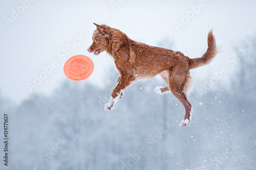 Poster Nova Scotia Duck Tolling Retriever dog playing in the field