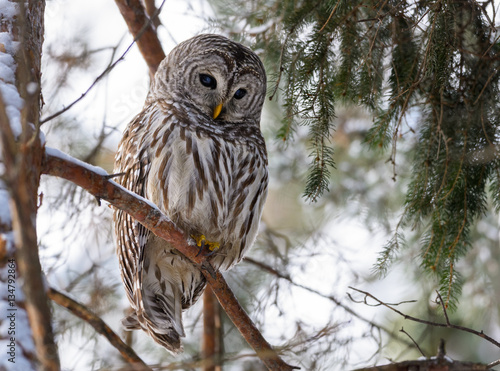Barred Owl Perched in Tree in Winter