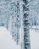 trunks of birch trees covered with snow