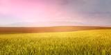 Green beautiful wheat field