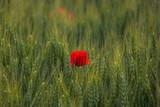 papavero rosso (Papaver rhoeas) in un campo di grano