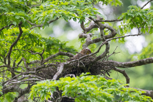 Poster Young tiger heron in treetop nest