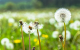 Seeds of dandelions on meadow, spring flowers on green blurry background
