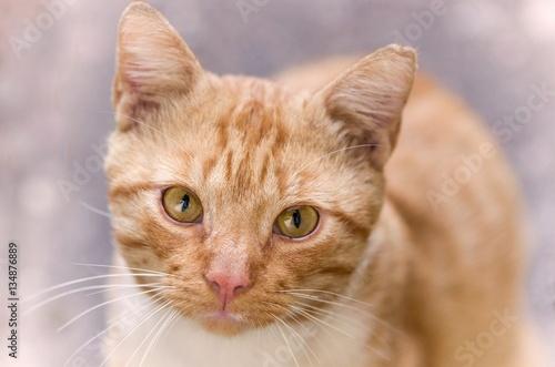 Rudy kot patrz w kamerę.