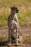 Cheetah Masai Mara Kenya Africa