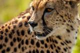 Cheetah Masai Mara Kenya Africa - 134894493