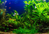 fish in freshwater aquarium with green beautiful planted tropica - 134899248