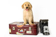 dog golden sitting down on a suitcase on a white background