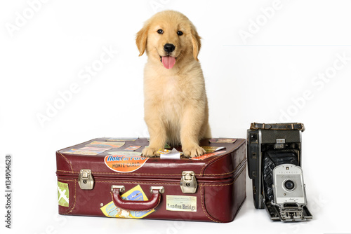 Poster dog golden sitting down on a suitcase on a white background